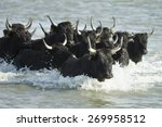 Black Bulls Of Camargue France...