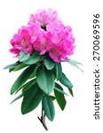 beautiful pink rhododendron | Shutterstock . vector #270069596