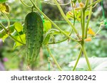 young cucumber  hanging on a... | Shutterstock . vector #270180242