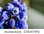 Marco Of Grape Hyacinth Purple...