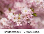 Small photo of Japanese flowering cherry tree. (Prunus Accolade)