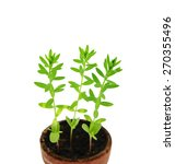 young sprouts of flax  lat.... | Shutterstock . vector #270355496