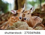 A Couple Of Young Sika Deers...