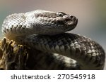 close up of a western diamond-backed rattlesnake (crotalus atrox) photo taken thru a glass partition in a zoo