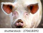 sad pig face closeup   Shutterstock . vector #270618392