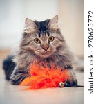 Stock photo the fluffy striped domestic cat plays with a toy 270625772