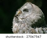 Portrait Of A Northern Hawk Owl