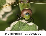 Emperor Dragonfly 2  Or Blue...