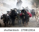 Beautiful Caravan Of Goats In...