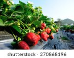 Strawberry Plants In Growth At...