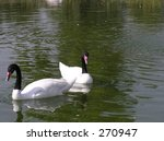Black Headed Swans