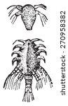larva of the lernaea  vintage...   Shutterstock .eps vector #270958382