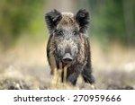 Wild Boar In Natural...