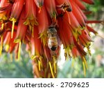 Small photo of bee on aloe succotrina flowers