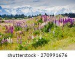Постер, плакат: Lupins blooming with Southern