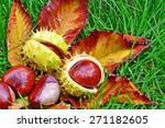 Horse Chestnut Conkers In The...