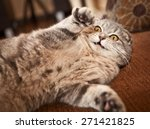 Stock photo scottish fold cat 271421825
