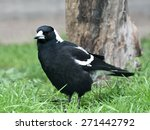 Small photo of White-backed magpie (gymnorhina hypoleuca) resting on the ground in its habitat