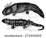 The Axolotl From Mexico Before...