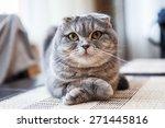 Stock photo scottish fold cat 271445816