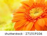 Orange Gerbera Close Up With...