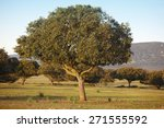 oak holm  ilex in a... | Shutterstock . vector #271555592