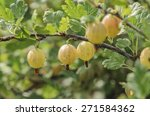 Grows Ripe Gooseberries On A...