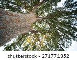 Tree Reaching To The Sky