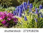Grape Hyacinths In The Spring...