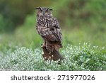 Eurasian Great Horned Owl Or...