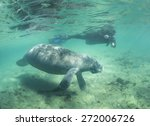 Snorkeling With Manatees In...