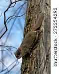 Northern Flying Squirrels ...