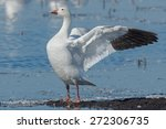 Snow Goose Standing On A Mud...
