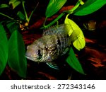 Small photo of Aquarium fish from Cichlidae family. Andinoacara pulcher or Aequidens pulcher.
