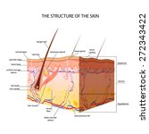 the structure of the skin | Shutterstock .eps vector #272343422