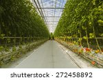 tomatoes in a greenhouse | Shutterstock . vector #272458892
