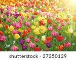 bed of tulips | Shutterstock . vector #27250129