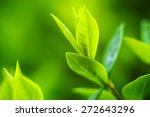 green tea bud and fresh leaves. ... | Shutterstock . vector #272643296