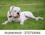 White Boxer Dog Lying On Green...
