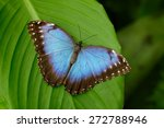Big Butterfly Blue Morpho ...