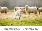 Adorable little lamb on pasture ...