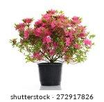 Vase With Blossom Azalea