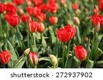 red tulips.  red tulips field... | Shutterstock . vector #272937902