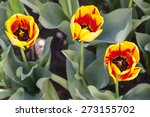 Three Burning Heart Tulips ...