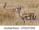 Young Male Impala Antelope...