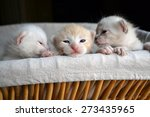 Stock photo three very small tiny kittens peeking out of a basket 273435965