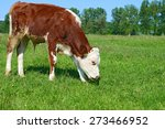 the calf on a summer pasture | Shutterstock . vector #273466952