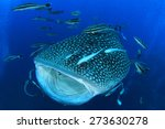 Whale Shark With Mouth Open