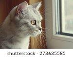 Stock photo beautiful scottish kitten looking at the window 273635585