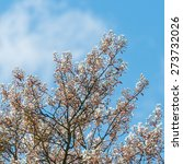 Small photo of A shot of some amelanchier tree blossom.